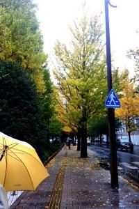 Pohon ginko diguyur hujan.