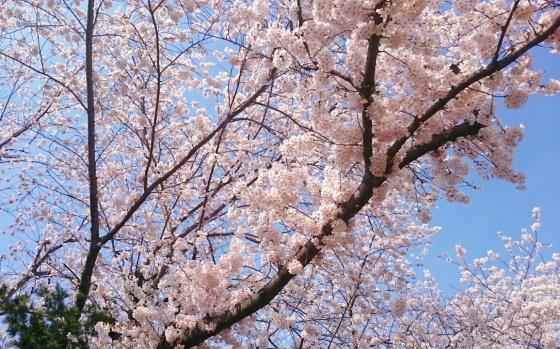Sakura putih.