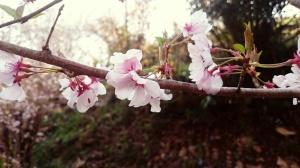 Sakura Hanamiyama.