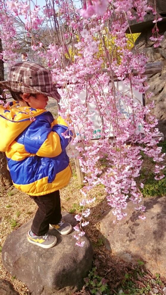Juntaian sakura bisa menyentuh tanah.